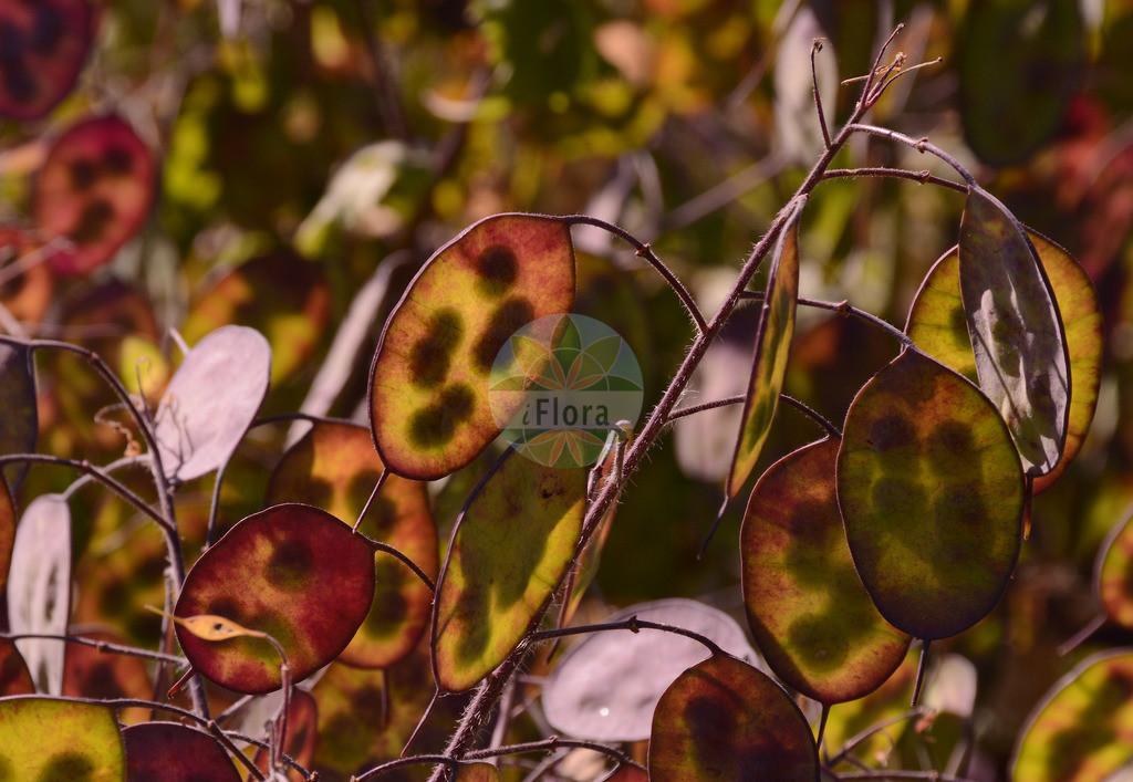 Lunaria annua (Garten-Silberblatt - Honesty) | Foto von Lunaria annua (Garten-Silberblatt - Honesty). Das Foto wurde in Mainz, Rheinland-Pfalz, Deutschland aufgenommen. ---- Photo of Lunaria annua (Garten-Silberblatt - Honesty).The picture was taken in Mainz, Rhineland-Palatinate, Germany.