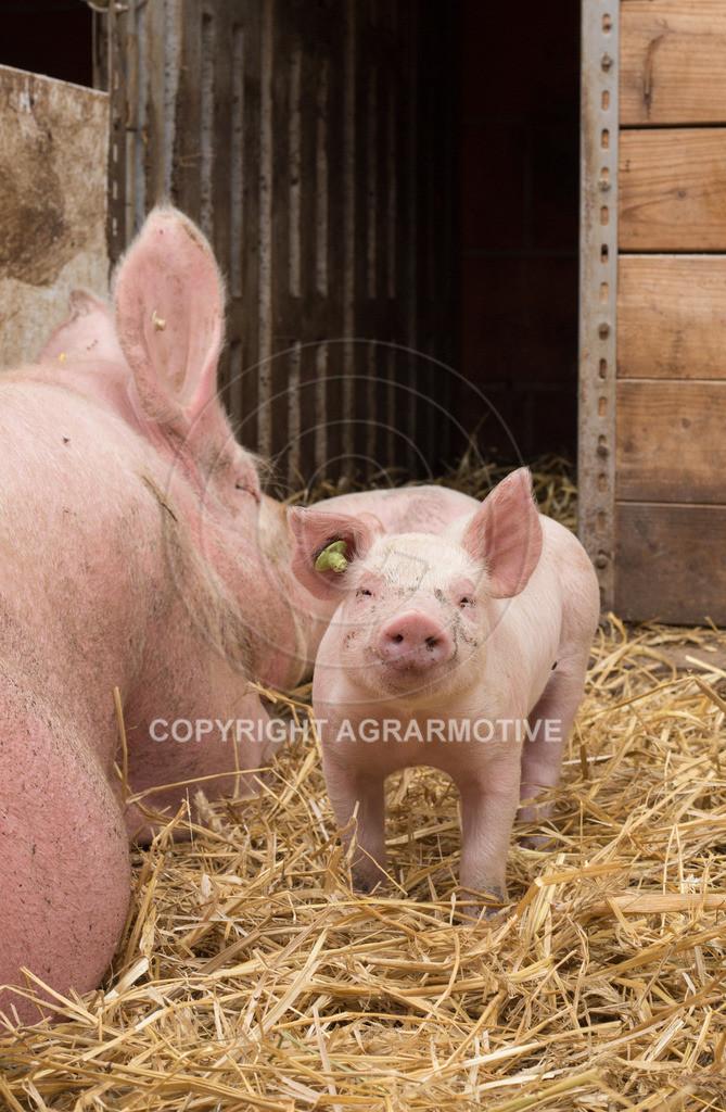 20160705-IMG_7929 | glückliche Schweine