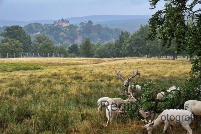 Damhirsche vor der Sababurg | Rudel weißer Damhirsche im Tierpark Sababurg, im Hintergrund die Sababurg