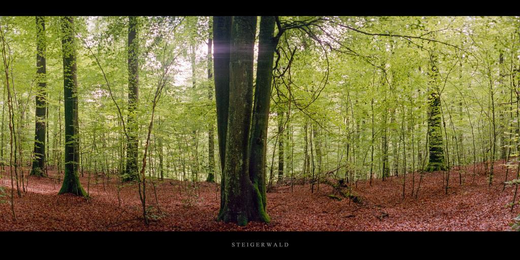 Buchenwald Steigerwald   Buchen im Buchenwald Steigerwald