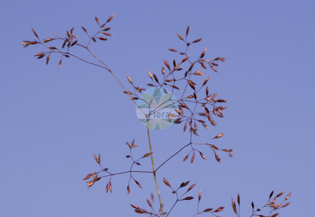 Agrostis capillaris (Rotes Straussgras - Common Bent) | Foto von Agrostis capillaris (Rotes Straussgras - Common Bent). Das Foto wurde in aufgenommen. ---- Photo of Agrostis capillaris (Rotes Straussgras - Common Bent).The picture was taken in .