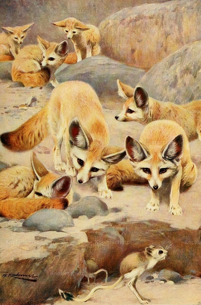 Kuhnert_ F.W. (1865-1926) - Wild Life of the World 1916 - Fennec _ Jerboa
