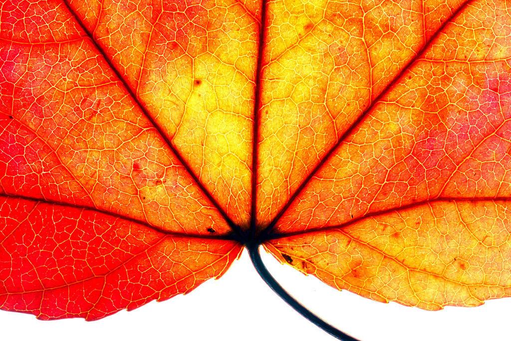 JT-120220-012   Blatt des Liquidamber, Gattung der Amberbäume, (Liquidambar styraciflua), herbstliche Färbung,