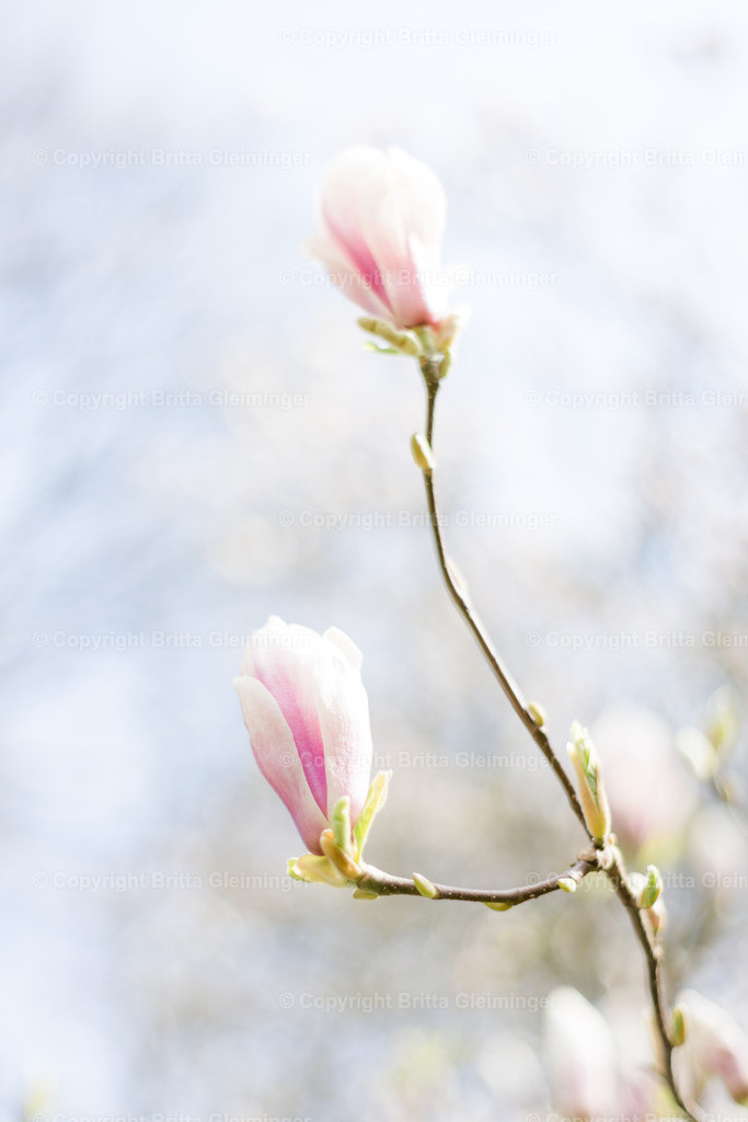 Magnolienblüte 2 | Magnolienblüte in rosa und weiß kurz vorm Erblühen an einem lichthellen Frühlingstag.