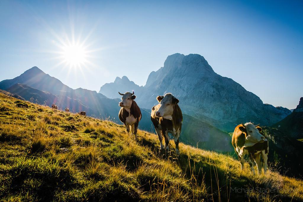Wolayertal im Lesachtal | Kühe in der Wolayeralm am Wolayersee mit Blick auf die Hohe Warte