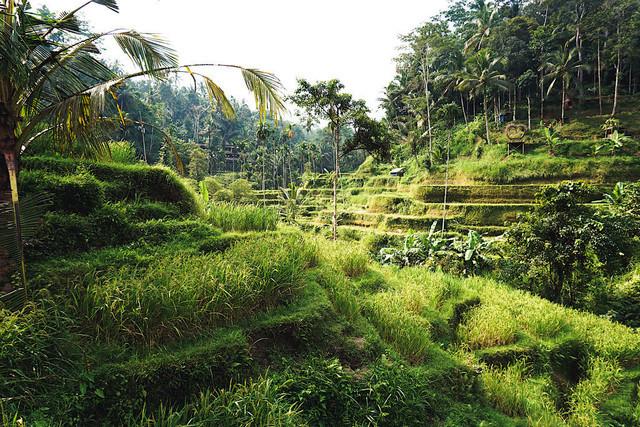 Jungle Vibes   Sattgrüne Tegallalang Reisterrassen auf Bali, Indonesien