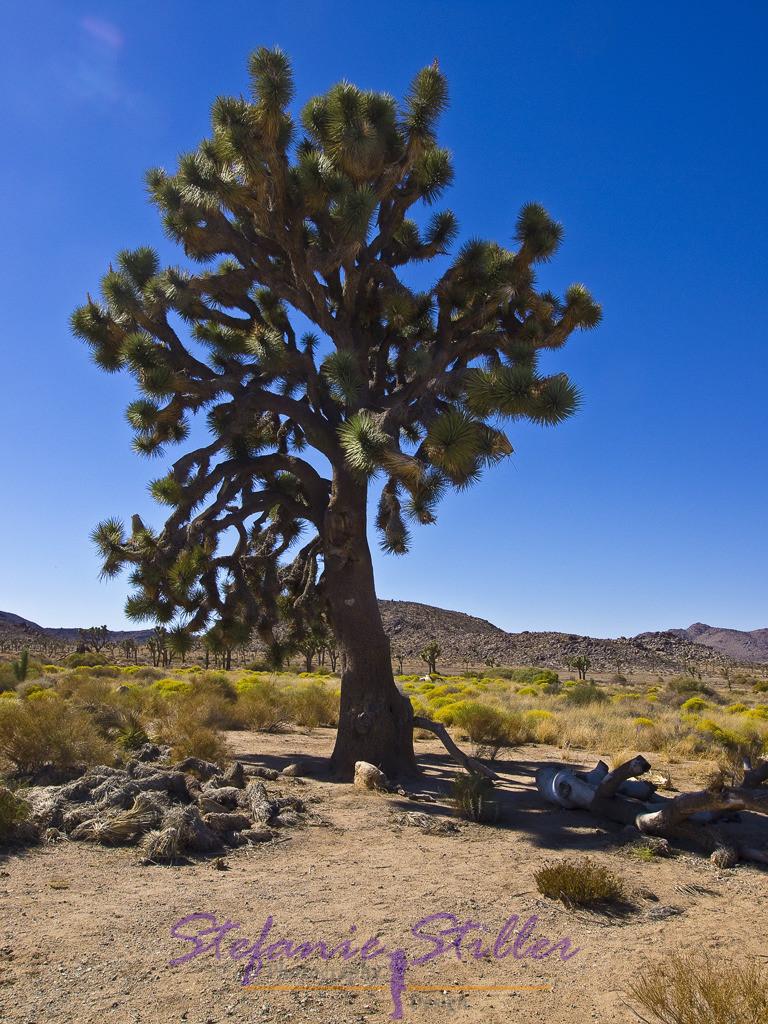 Josuha Tree im Desert   Gigantischer Joshua Tree