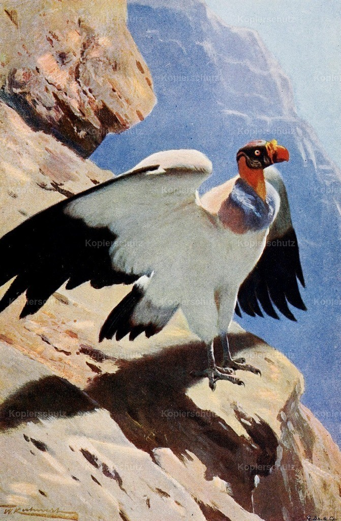 Kuhnert_ F.W. (1865-1926) - Wild Life of the World 1916 - King Vulture