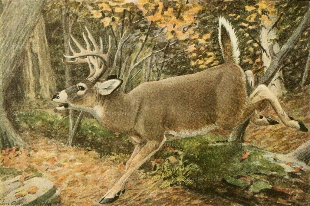 Fuertes_ L.A. (1874-1927) - Wild Animals of N. America 1918 - Virginia or White-tailed Deer