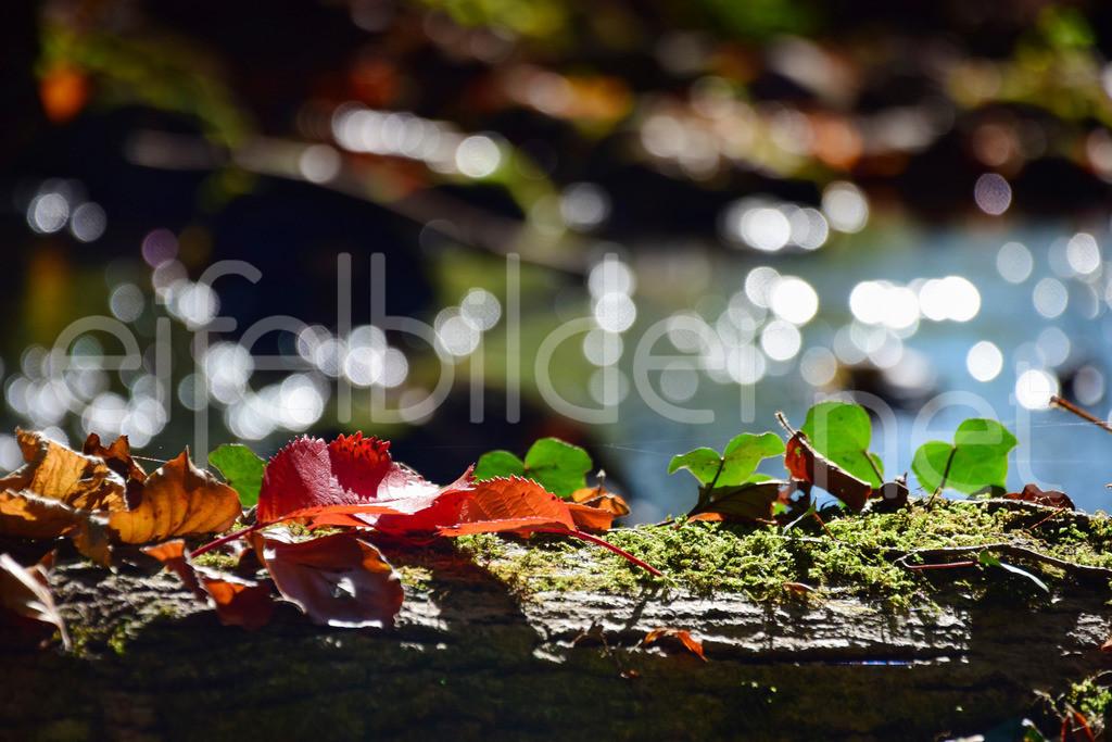 Herbstleuchten in der Eifel | fotografiert am Alfbach bei Strohn (Vulkaneifel)