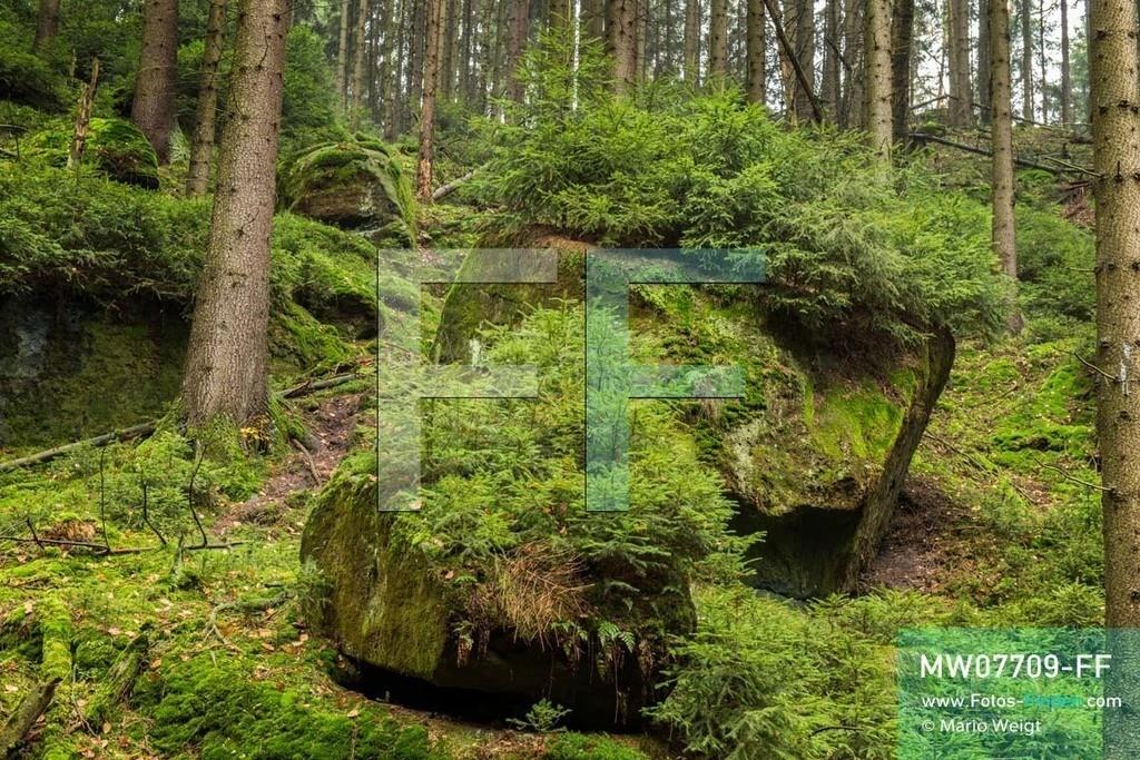 MW07709-FF | Deutschland | Sachsen | Sächsische Schweiz | Bemosste Felsen mit kleinen Fichten in der Eulentilke, eine Schlucht mit Wanderweg im Elbsandsteingebirge.   ** Feindaten bitte anfragen bei Mario Weigt Photography, info@asia-stories.com **