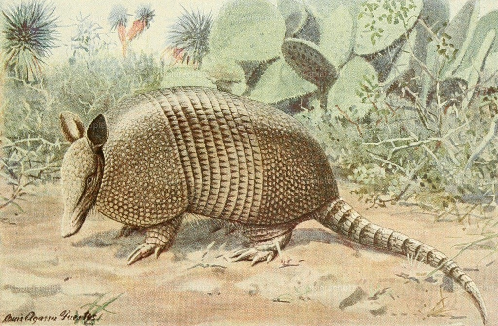 Fuertes_ L.A. (1874-1927) - Wild Animals of N. America 1918 - Nine-banded Armadillo