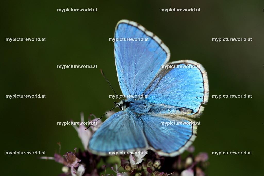 Polyommatus bellargus-007