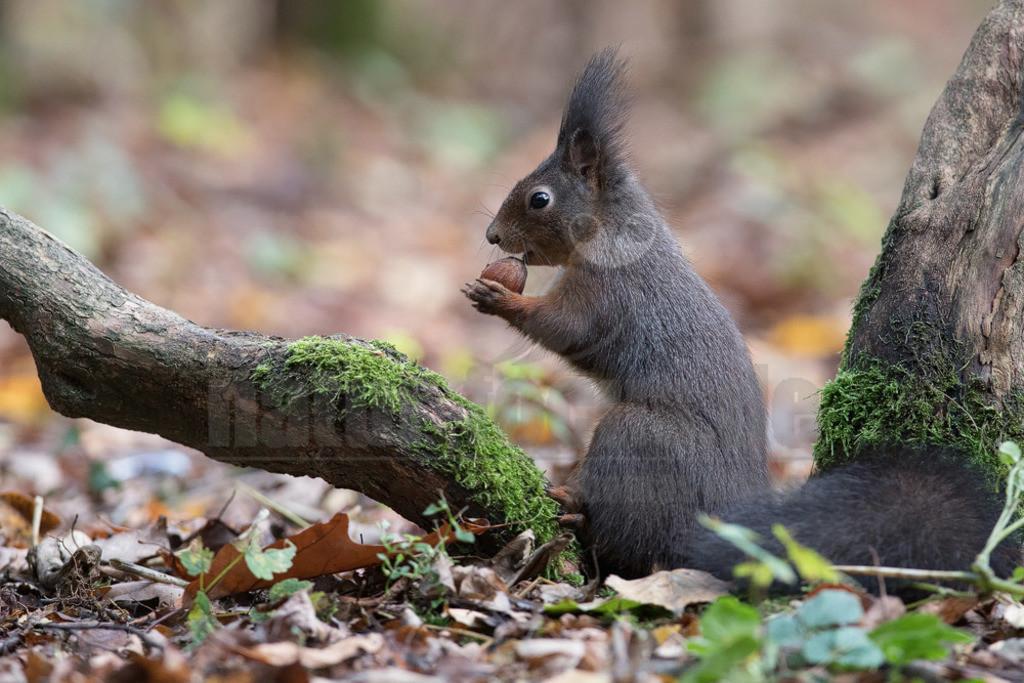 Eichhörnchen im Wald | Das Eichhörnchen (Sciurus vulgaris), regional auch Eichkätzchen, Eichkatz(er)l, Eichkater oder niederdeutsch Katteker, ist ein Nagetier aus der Familie der Hörnchen (Sciuridae). Es ist der einzige natürlich in Mitteleuropa vorkommende Vertreter aus der Gattung der Eichhörnchen und wird zur Unterscheidung von anderen Arten wie dem Kaukasischen Eichhörnchen und dem in Europa eingebürgerten Grauhörnchen auch als Europäisches Eichhörnchen bezeichnet.