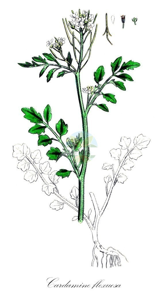 Historical drawing of Cardamine flexuosa (Wavy Bitter-cress) | Historical drawing of Cardamine flexuosa (Wavy Bitter-cress) showing leaf, flower, fruit, seed
