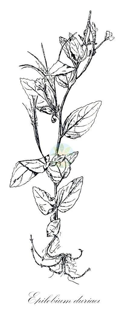 Historical drawing of Epilobium duriaei (Western Willowherb)   Historical drawing of Epilobium duriaei (Western Willowherb) showing leaf, flower, fruit, seed