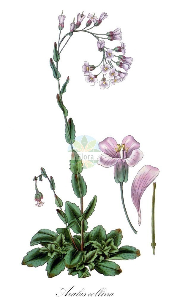 Historical drawing of Arabis collina (Rosy Cress) | Historical drawing of Arabis collina (Rosy Cress) showing leaf, flower, fruit, seed