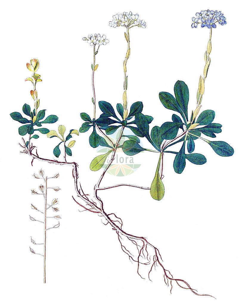 Noccaea montana (Berg-Hellerkraut - Alpine Penny-cress) | Historische Abbildung von Noccaea montana (Berg-Hellerkraut - Alpine Penny-cress). Das Bild zeigt Blatt, Bluete, Frucht und Same. ---- Historical Drawing of Noccaea montana (Berg-Hellerkraut - Alpine Penny-cress).The image is showing leaf, flower, fruit and seed.
