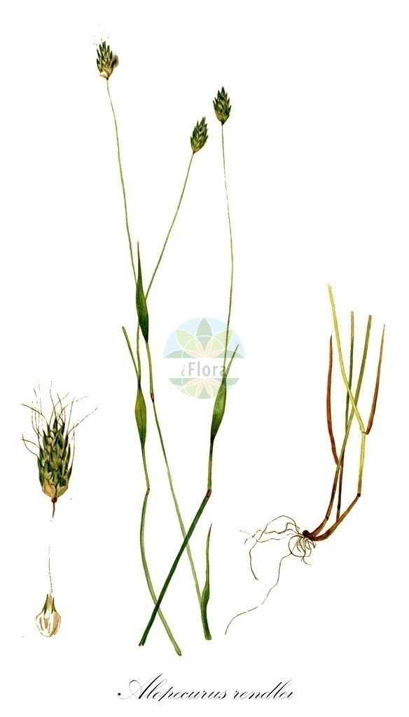 Historical drawing of Alopecurus rendlei (Rendle's Meadow Foxta   Historical drawing of Alopecurus rendlei (Rendle's Meadow Foxtail) showing leaf, flower, fruit, s