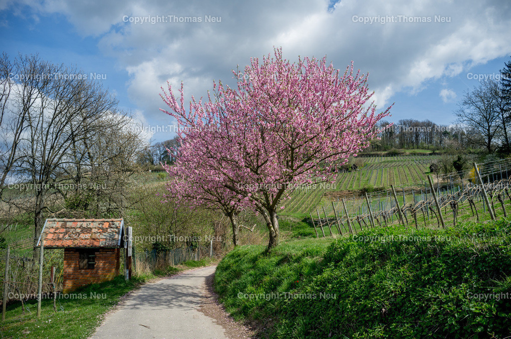 Bergstrasse_Fruehling_Mandelbluete | Blühende Mandelbäume in den Weinbergen zwischen Bensheim und Heppenheim an der Hessischen Bergstraße die auch Frühlingsgarten  Deutschland genannt wird