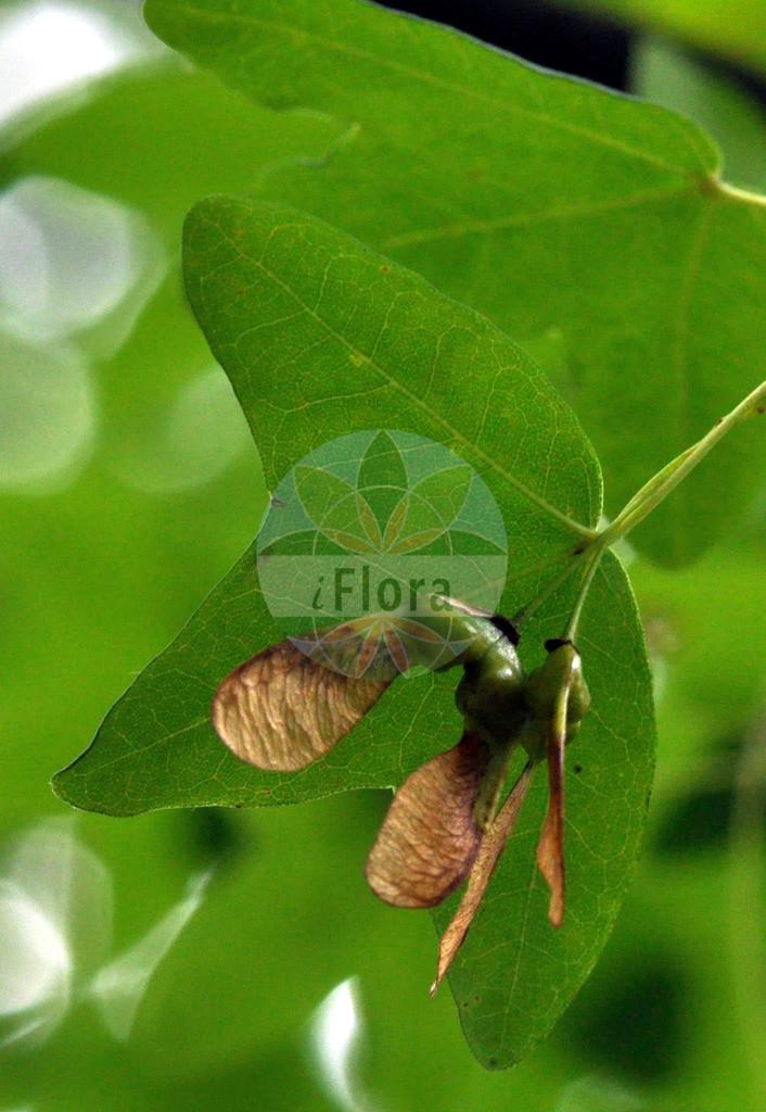 Acer monspessulanum (Franzoesischer Ahorn - Montpellier Maple) | Foto von Acer monspessulanum (Franzoesischer Ahorn - Montpellier Maple). Das Foto wurde in aufgenommen. ---- Photo of Acer monspessulanum (Franzoesischer Ahorn - Montpellier Maple).The picture was taken in .