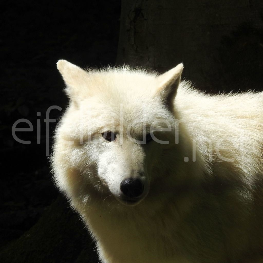 Polarwolf | fotografiert im Alder- & Wolfspark Pelm