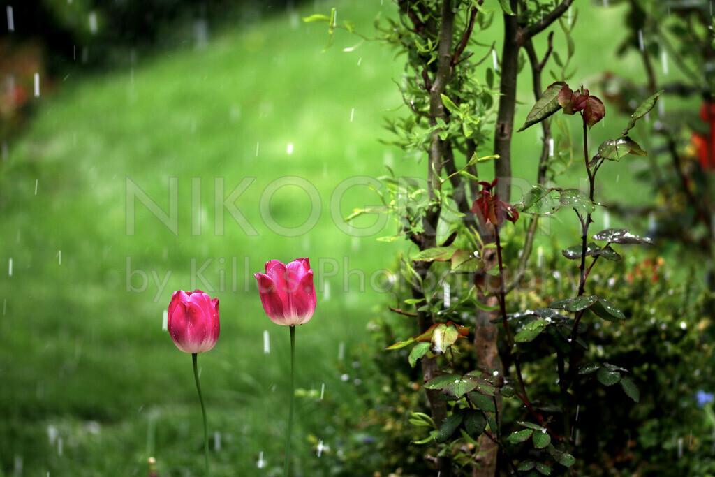 Tulpen im Regen | Das Frühlingserwachen der Tulpen im verregneten Frühling.