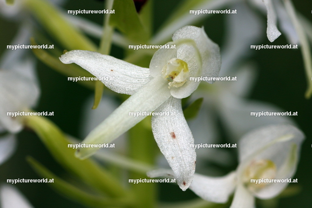 Weiße Waldhyazinthe-003