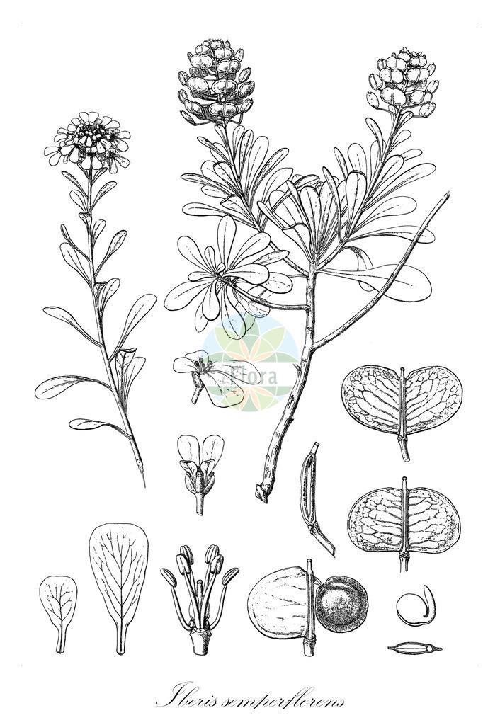 Historical drawing of Iberis semperflorens (Candytuft)   Historical drawing of Iberis semperflorens (Candytuft) showing leaf, flower, fruit, seed