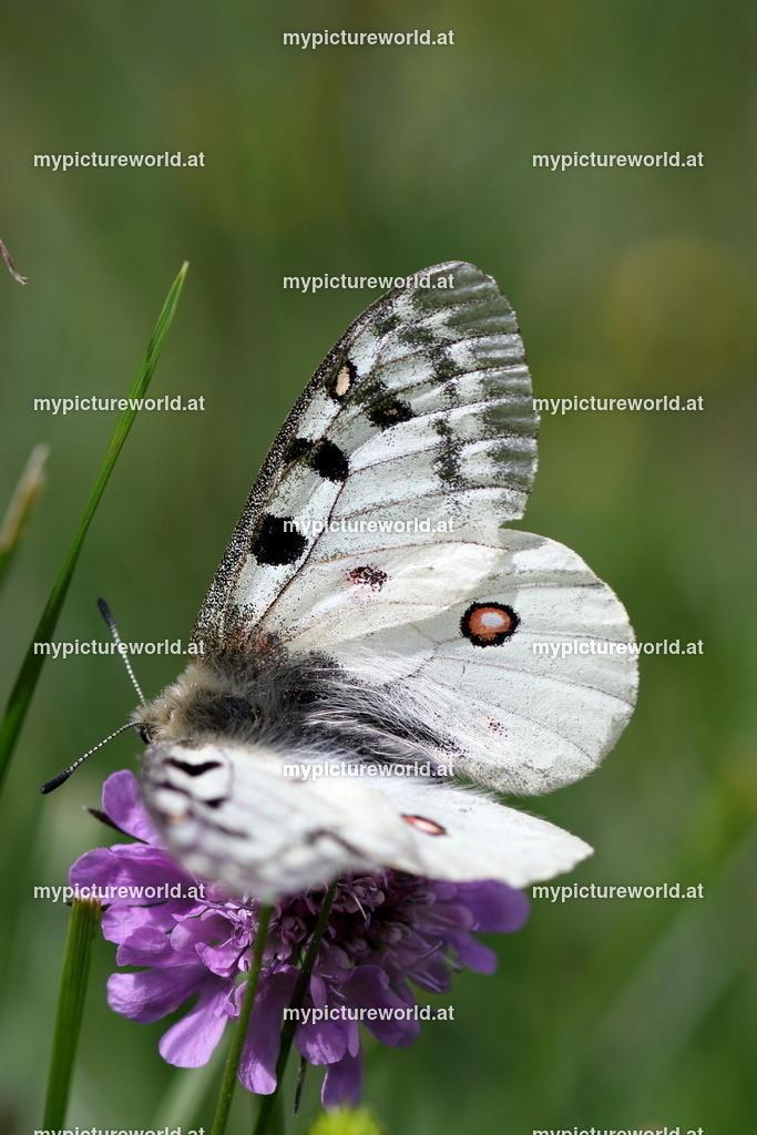 Parnassius phoebus-008
