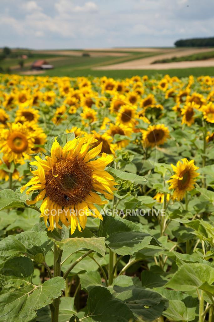 20090711-IMG_3672 | blühende Sonnenblumen im Sommer - AGRARMOTIVE Bilder aus der Landwirtschaft