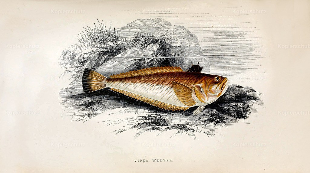 A-History-of-the -Fishes- of- the- British-Islands-Fische-1862-1866 (27)