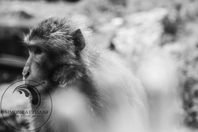 the Monkey | Affenberg in Landskron, Carinthia, Kärnten, Austria
