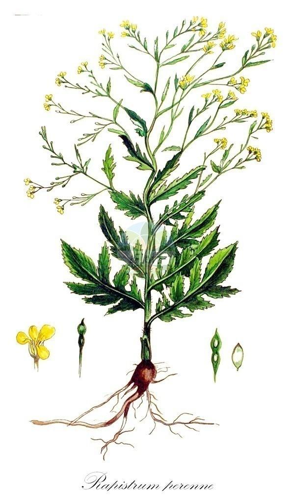 Historical drawing of Rapistrum perenne (Steppe Cabbage) | Historical drawing of Rapistrum perenne (Steppe Cabbage) showing leaf, flower, fruit, seed
