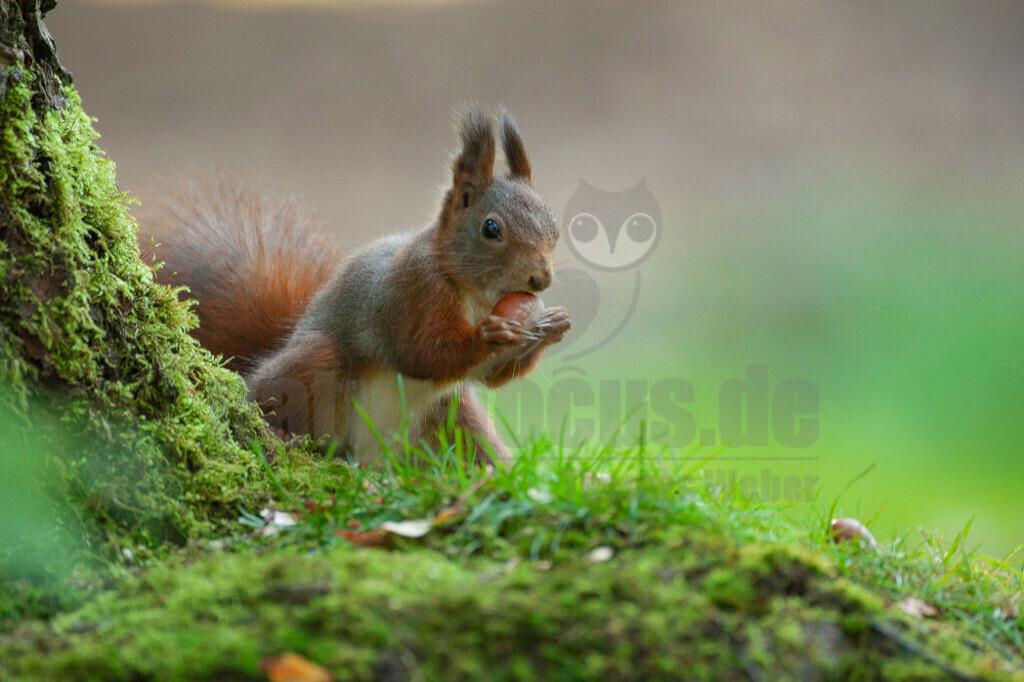 20081020162153 | Das Eurasische Eichhörnchen, häufig nur als Eichhörnchen bekannt, ist ein Nagetier aus der Familie der Hörnchen. Es ist der einzige natürlich in Mitteleuropa vorkommende Vertreter aus der Gattung der Eichhörnchen und wird zur Unterscheidung von anderen Arten wie dem Kaukasischen Eichhörnchen und dem in Europa eingebürgerten Grauhörnchen auch als Europäisches Eichhörnchen bezeichnet.