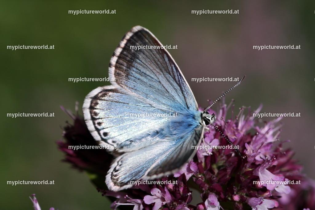 Polyommatus coridon-002