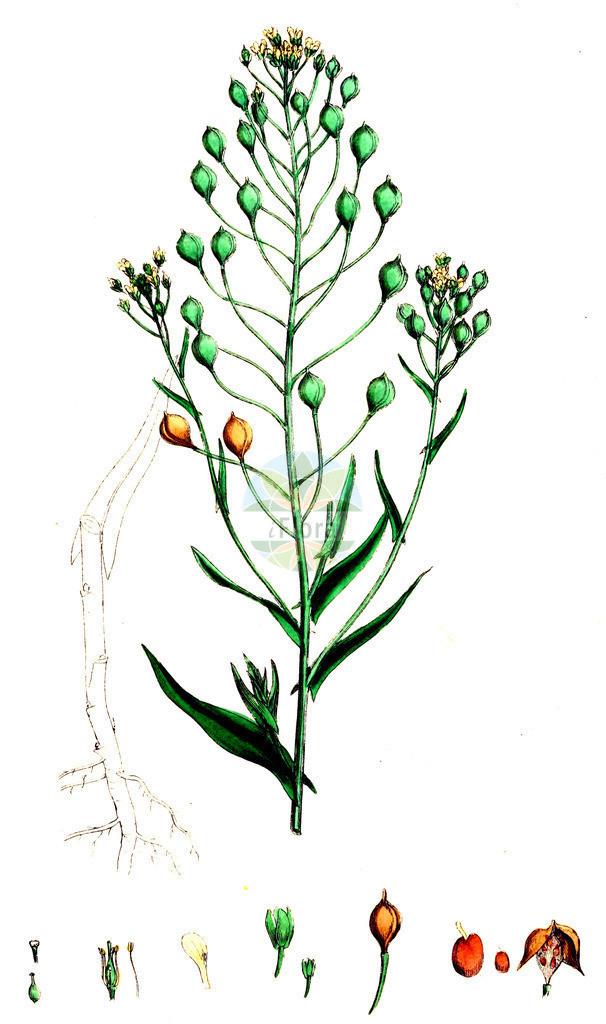Camelina sativa (Saat-Leindotter - Gold-of-Pleasure) | Historische Abbildung von Camelina sativa (Saat-Leindotter - Gold-of-Pleasure). Das Bild zeigt Blatt, Bluete, Frucht und Same. ---- Historical Drawing of Camelina sativa (Saat-Leindotter - Gold-of-Pleasure).The image is showing leaf, flower, fruit and seed.
