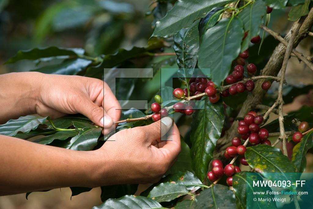 MW04093-FF | Laos | Paksong | Reportage: Kaffeeproduktion in Laos | Bauer Thao Khamkong kontrolliert die Kaffeekirschen in seiner Plantage auf dem Bolaven-Plateau. Hier werden die Kaffeesorten Robusta und Arabica angebaut.  ** Feindaten bitte anfragen bei Mario Weigt Photography, info@asia-stories.com **