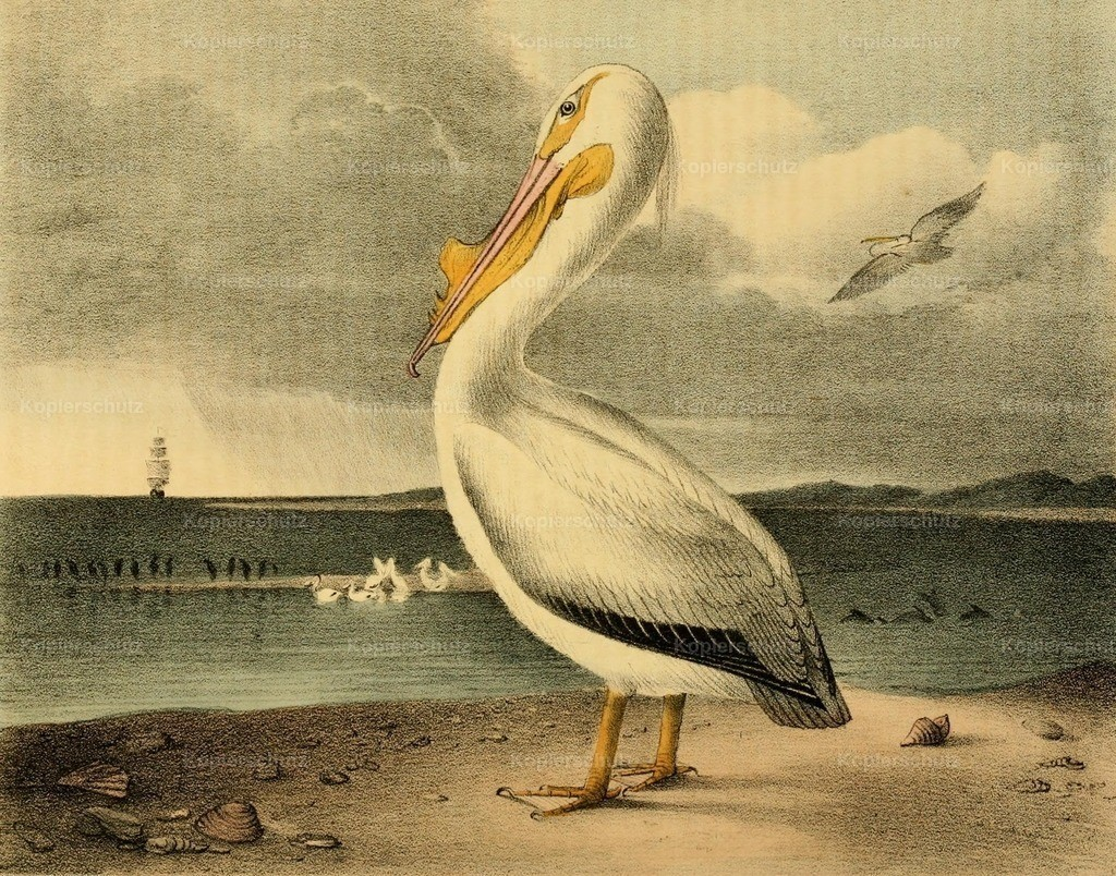 Doughty_ T. (1793-1856) - Cabinet of Natural History 1830 - Pelican