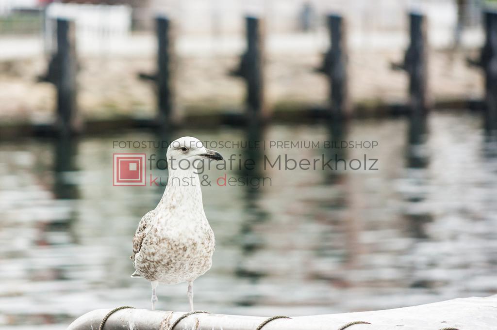 @marko_berkholz_mberkholz_MBE0371 | Die Bildergalerie Möwen des Warnemünder Fotografen Marko Berkholz, zeigt den gefräßigen aber auch sympathischen Räuber der Küste.