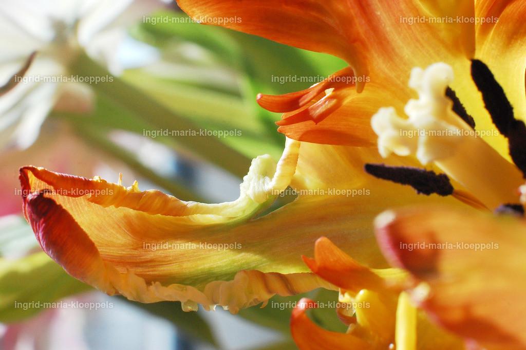 DSC_7600 | Tulpe