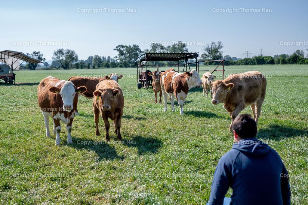 DSC_9894   Bensheim, Schwanheim, FamilieSchweikert in Schwanheim nach 50 Jahren Viehhaltung jetzt mit ihren Rindern auf die Weiden, ,, Bild: Thomas Neu