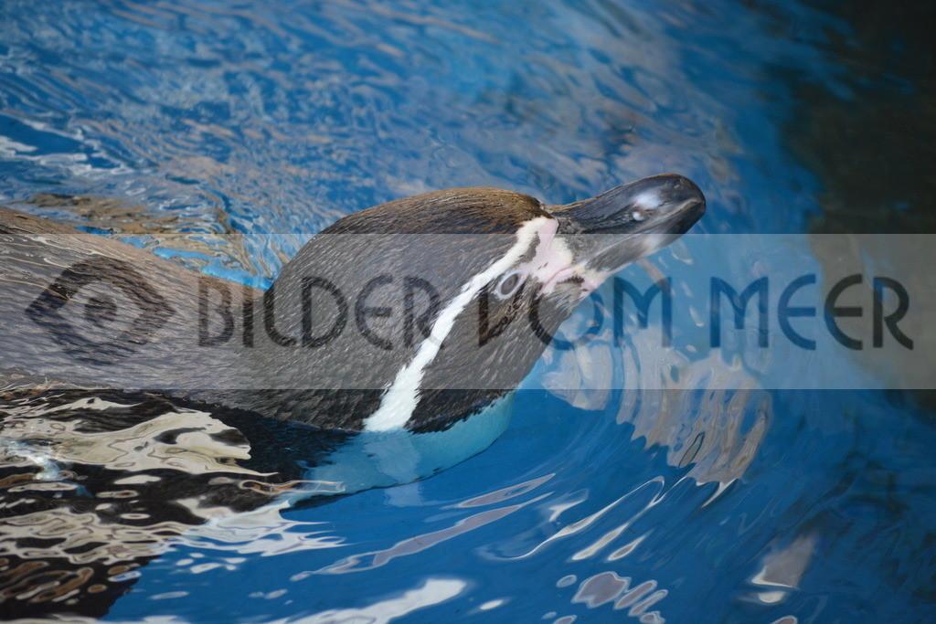 Pinguine Bilder | Foto Pingui Spanien