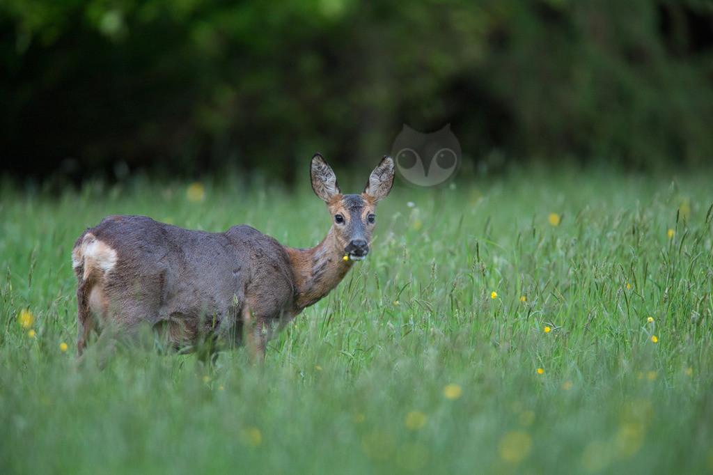 20140504_202427  | Das Reh, zur Unterscheidung vom Sibirischen Reh auch Europäisches Reh genannt, ist die in Europa häufigste und kleinste Art der Hirsche. Als Trughirsch ist es näher mit Ren, Elch und dem amerikanischen Weißwedelhirsch verwandt als mit dem in Mitteleuropa ebenfalls heimischen Rothirsch.