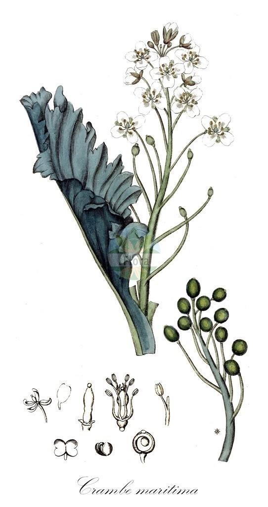 Historical drawing of Crambe maritima (Sea-kale) | Historical drawing of Crambe maritima (Sea-kale) showing leaf, flower, fruit, seed