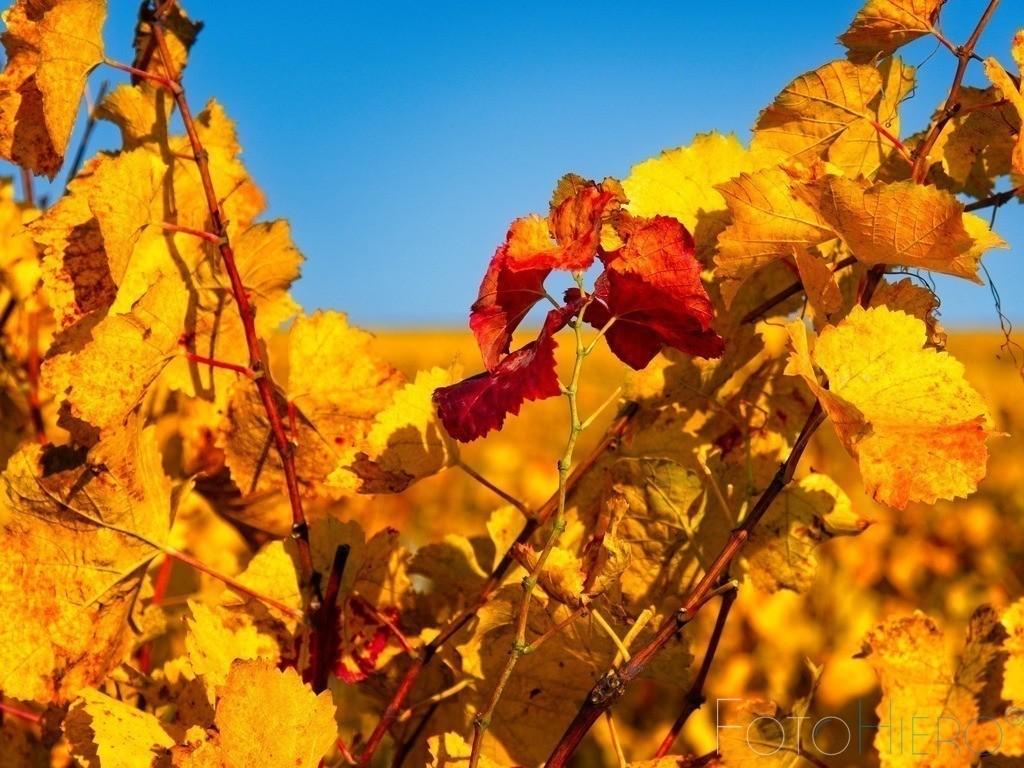 Weinblätter | Gelbgoldene Weinblätter mit roten Weinblättern im Hersbt
