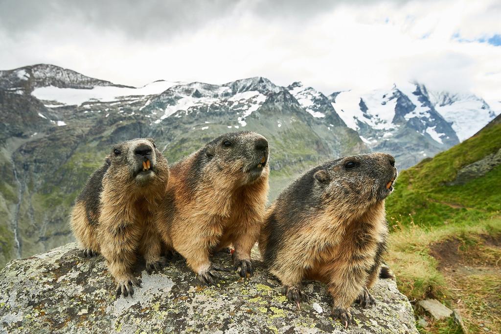 Drei Murmeltiere | Vor dem Gebirgsmassiv des Großglockner im Nationalpark Hohe Tauern, Österreich, leben diese Murmeltiere.