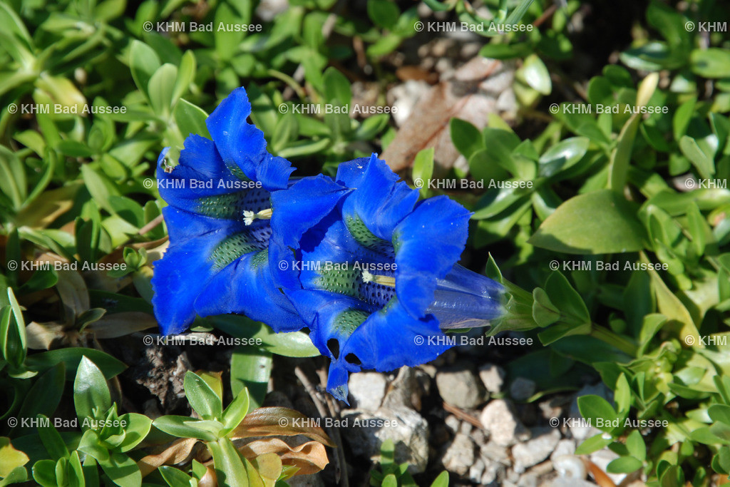 Schmalbl_Enzian | Schmalblättriger Enzian  lat. Gentiana angustifolia