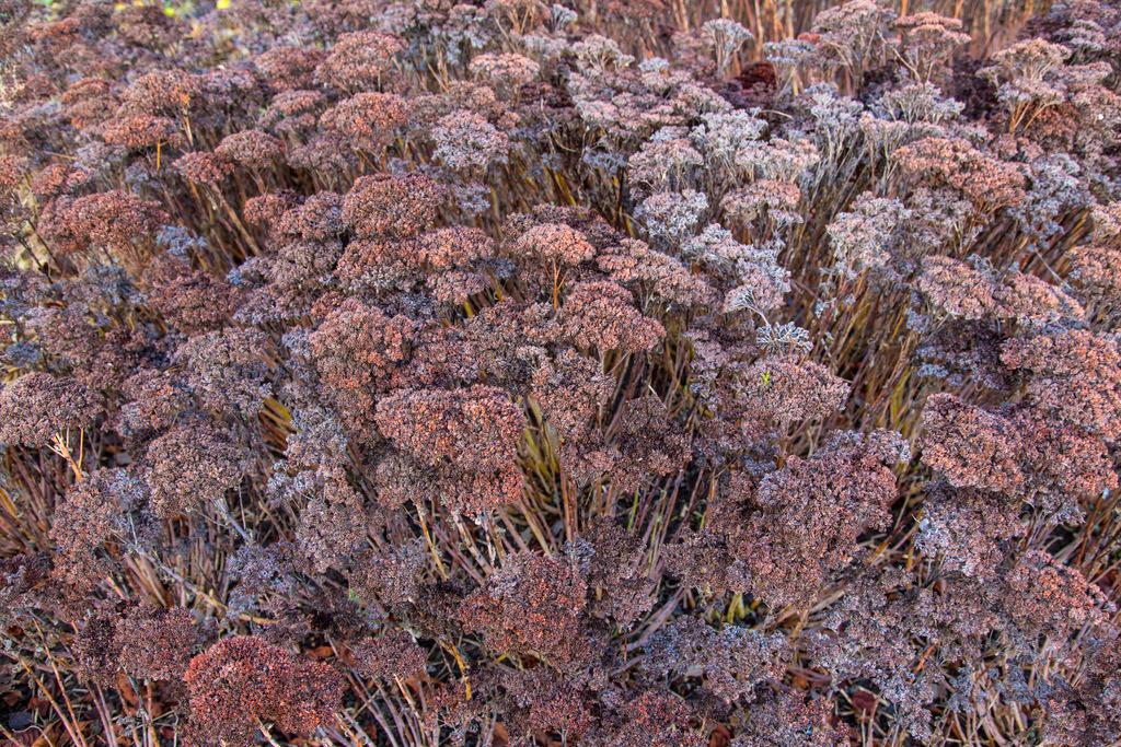 JT-150108-014 | Riesenbärenklau (Heracleum mantegazzianum,)Stauden im Winter, vertrocknet stehen sie am Wegesrand