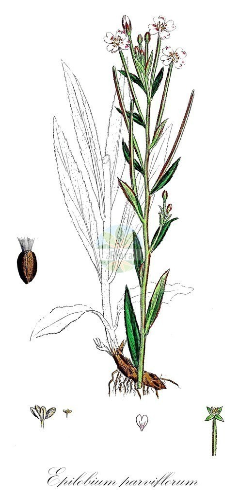 Historical drawing of Epilobium parviflorum (Hoary Willowherb)   Historical drawing of Epilobium parviflorum (Hoary Willowherb) showing leaf, flower, fruit, seed